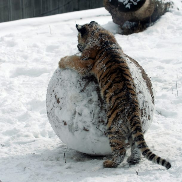 Tiger cub with snowball